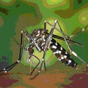 mosquito tigre 1