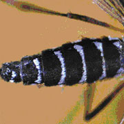 mosquito tigre 2
