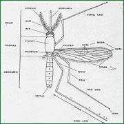 mosquitos2