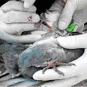 foco de análisis a una paloma