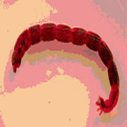 foto de larva de quironómido