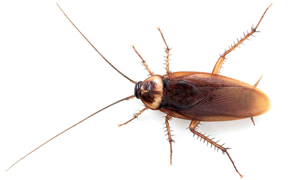 imagen de cucaracha