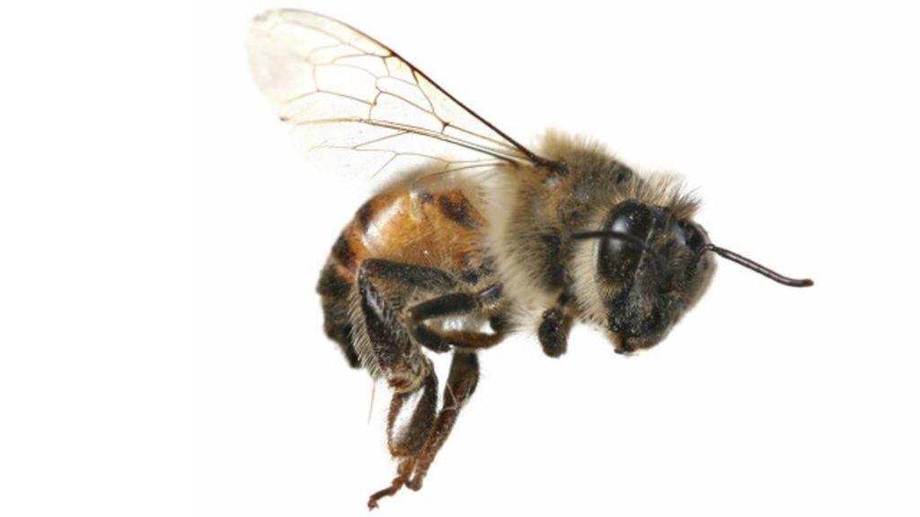 imagen de abeja