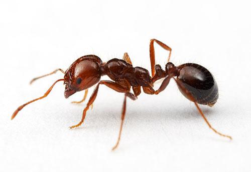 imagen de hormiga